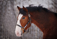 Retrato del caballo de bahía hermoso con la marca blanca grande Imagenes de archivo