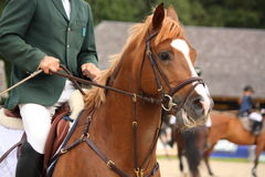 Retrato del caballo de Brown con el freno Imagen de archivo