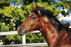 Retrato del caballo de Brown en el fondo verde Foto de archivo libre de regalías