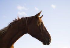 Retrato del caballo de Brown en Sunny Day Fotografía de archivo libre de regalías