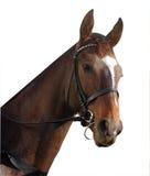Retrato del caballo de carreras Imágenes de archivo libres de regalías