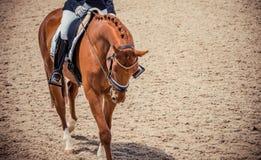 Retrato del caballo de la castaña del caballo de la doma y de Brown del jinete Fotografía de archivo