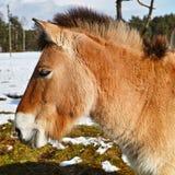 Retrato del caballo de Przewalski Fotografía de archivo