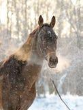 Retrato del caballo del akhal-teke Fotografía de archivo