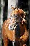 Retrato del caballo del akhal-teke de la bahía Foto de archivo libre de regalías