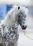 Retrato del caballo del Appaloosa Fotografía de archivo