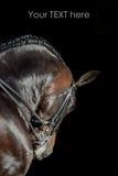 Retrato del caballo del deporte Imagen de archivo libre de regalías