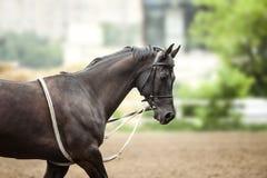 Retrato del caballo del entrenamiento Imagen de archivo