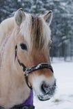 Retrato del caballo del fiordo en invierno Imágenes de archivo libres de regalías