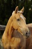 Retrato del caballo del Palomino Imagenes de archivo