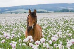 Retrato del caballo en el campo de la amapola Foto de archivo libre de regalías
