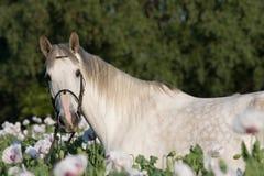 Retrato del caballo en el campo de la amapola Fotos de archivo