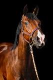Retrato del caballo en fondo oscuro Foto de archivo