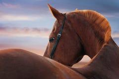 Retrato del caballo en la puesta del sol imagenes de archivo
