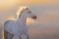 Retrato del caballo en la puesta del sol Imágenes de archivo libres de regalías
