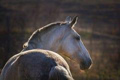 Retrato del caballo gris Imagen de archivo