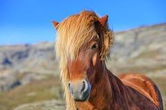 Retrato del caballo islandés del color marrón en el campo Imágenes de archivo libres de regalías