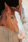 Retrato del caballo marrón Fotografía de archivo