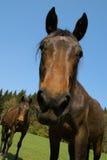 Retrato del caballo marrón Imagen de archivo libre de regalías