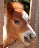 Retrato del caballo miniatura Fotos de archivo