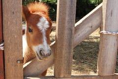 Retrato del caballo miniatura Fotografía de archivo libre de regalías