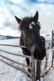 Retrato del caballo negro foto de archivo