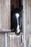 Retrato del caballo negro Fotografía de archivo libre de regalías