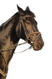Retrato del caballo negro Foto de archivo libre de regalías