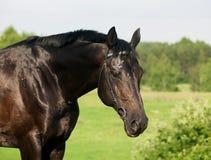 Retrato del caballo negro agradable cerca de las flores Foto de archivo libre de regalías