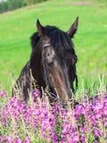 Retrato del caballo negro agradable cerca de las flores Fotos de archivo