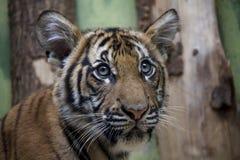 Retrato del cachorro de tigre malayo imágenes de archivo libres de regalías