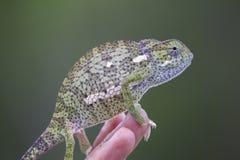 Retrato del camaleón Fotos de archivo