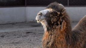 Retrato del camello metrajes