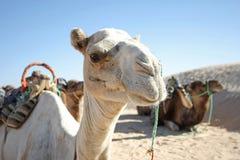 Retrato del camello Fotos de archivo