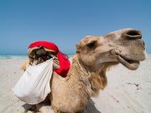Retrato del camello   Foto de archivo libre de regalías