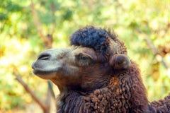 Retrato del camello Fotos de archivo libres de regalías
