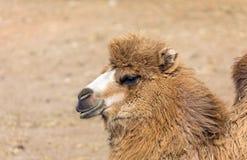 Retrato del camello bactriano Fotos de archivo