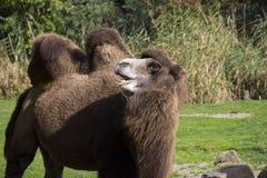Retrato del camello en el parque zoológico Fotos de archivo libres de regalías