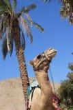 Retrato del camello, palmera foto de archivo libre de regalías