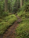 Retrato del camino de bosque del viejo crecimiento Fotografía de archivo