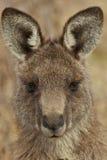 Retrato del canguro Foto de archivo libre de regalías