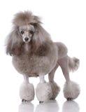 Retrato del caniche Imagen de archivo libre de regalías
