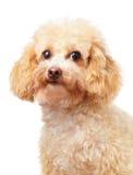 Retrato del caniche del perro Imagenes de archivo
