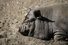 Retrato del cerdo de Vietnam Fotos de archivo libres de regalías