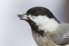 Retrato del Chickadee Imagenes de archivo