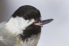 Retrato del Chickadee Imagen de archivo libre de regalías