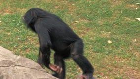 Retrato del chimpancé joven que se sienta en una roca y que se rasguña en el parque zoológico almacen de video