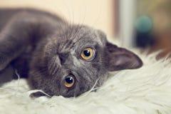 Retrato del cierre gris adorable del gatito para arriba Fotos de archivo
