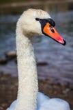 Retrato del cisne Foto de archivo libre de regalías