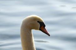 Retrato del cisne Foto de archivo